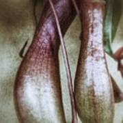 Pitcher Flower Sarracenia Art Print