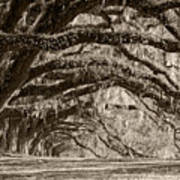 Plantation Drive Live Oaks Art Print