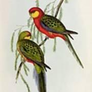 Platycercus Icterotis Art Print