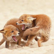 Playfighting Red Fox Kits Art Print