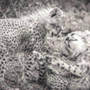 Playtime In Africa- Cheetah Cubs Acinonyx Jubatus Art Print