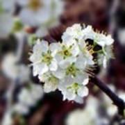 Plum Tree Blossoms II Art Print