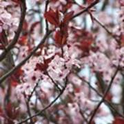 Plum Tree In Bloom Art Print