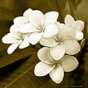 Plumeria - Brown Tones Art Print
