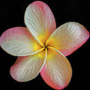 Plumeria Flower On Black Art Print