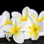Plumeria Obtusa Singapore White Art Print