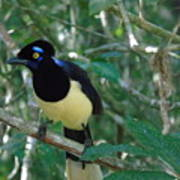 Plush-crested Jay   Cyanocorax Chrysops Art Print