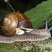 Pneumostome Of A Burgundy Snail Art Print