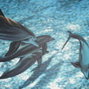 Pod Of Dolphins Art Print