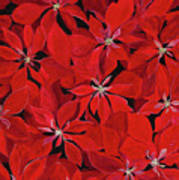 Poinsettia Art Print