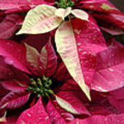Poinsettias -  Painted And Speckled Art Print