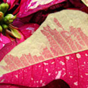 Poinsettias -  Painted And Speckled Up Close Art Print
