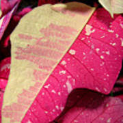 Poinsettias -  Painted And Speckled Up Close Too Art Print
