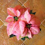 Poinsettias -  Pinks On Tile Too Art Print