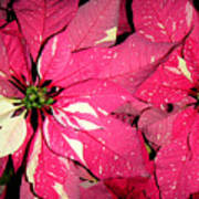 Poinsettias -  Red And White Speckled Art Print