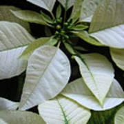 Poinsettias -  Winter Whites In Contrast Art Print