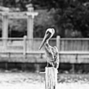 Point Clear Alabama Brown Pelican - Bw Art Print