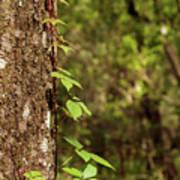 Poison Ivy Climbing Oak Tree Trunk Art Print