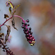 Pokeweed Berries 20121020_134 Art Print