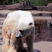 Polar Bear 2 Art Print