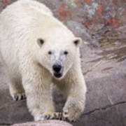 Polar Bear Prowl  Art Print