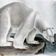 Polar Bear (ursus Maritimus) Art Print