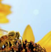 Pollen-coated Honey Bee On A Sunflower Art Print