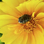 Pollen Feeding Beetle Art Print