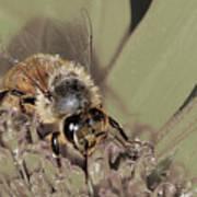 Pollinating Bee Art Print