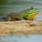Pond Frog 2 Art Print