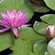 Pond Lily And Bud Art Print