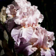 Pond Lily Iris  Art Print