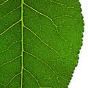 Poplar Leaf A Key To Biofuels Art Print