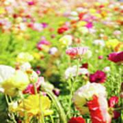 Poppies 1 Art Print