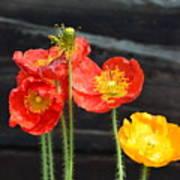 Poppies 17-01 Art Print