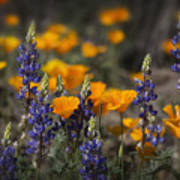 Poppies And Lupines  Art Print