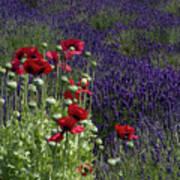 Poppies In Lavender Art Print