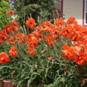 Poppies In Springtime Art Print