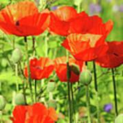Poppy Garden I Art Print
