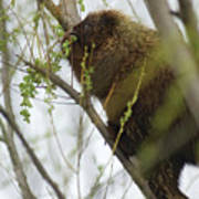 Porcupine Eating Leaves Art Print