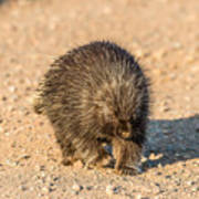 Porcupine Walking Art Print
