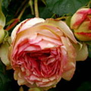 Portland's Rose Garden Art Print