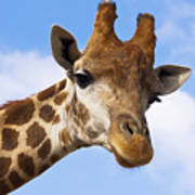 Portrait Of A Giraffe On The Background Of Blue Sky. Art Print