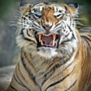 Portrait Of A Growling Tiger  Art Print