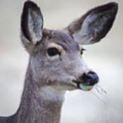 Portrait Of A Mule Deer Art Print