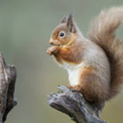 Portrait Of A Red Squirrel  Art Print