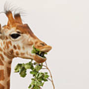 Portrait Of A Rothschild Giraffe IIi Art Print