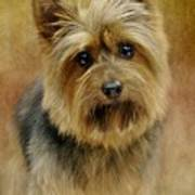 Portrait Of A Silky Terrier Art Print by Stephanie Calhoun