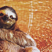 Portrait Of A Sloth Pet Looking In The Camera Art Print