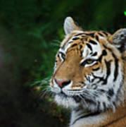 Portrait Of A Tiger Art Print